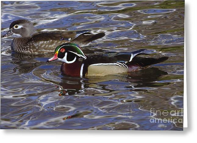 Water Fowl Greeting Cards - A Wood Duck Pair  Greeting Card by Jeff  Swan
