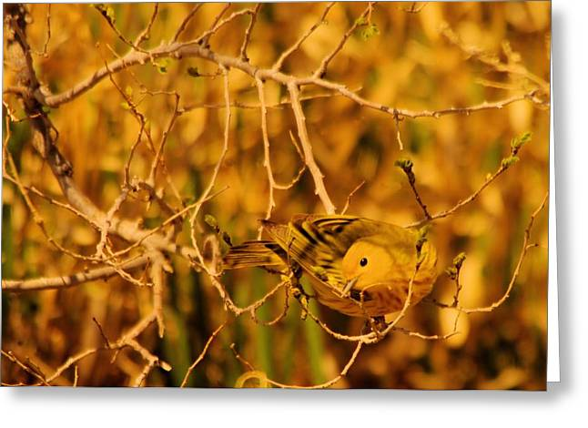 Migratory Bird Greeting Cards - A Yellow bird posing Greeting Card by Jeff  Swan