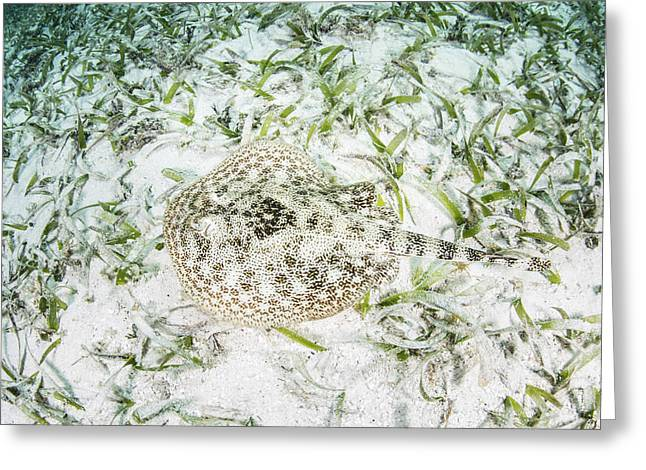 A Yellow Stingray On The Sandy Seafloor Greeting Card by Ethan Daniels
