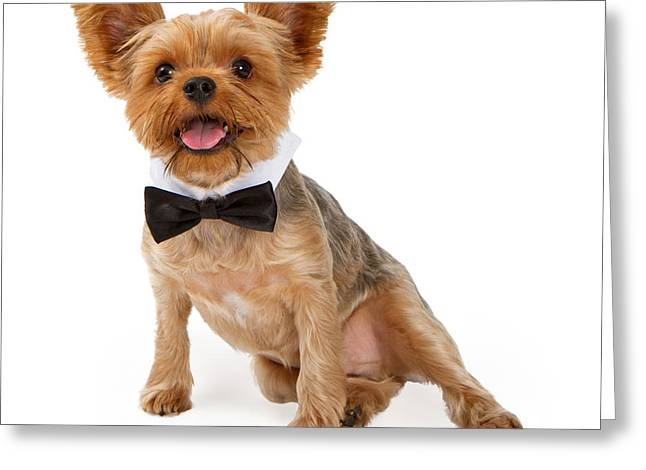 Black Tie Greeting Cards - A Yorkshire Terrier Puppy with a Bow Tie Greeting Card by Susan  Schmitz