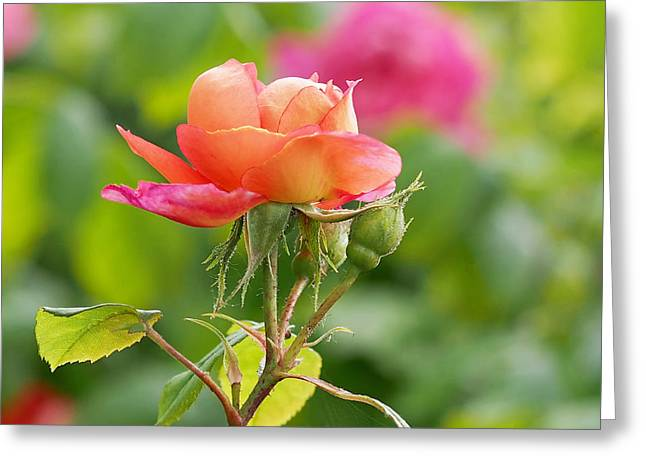 Peaches Photographs Greeting Cards - A Young Benjamin Britten Rose Greeting Card by Rona Black