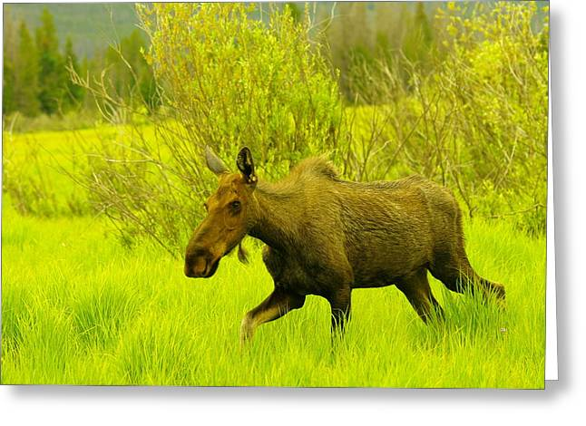 Yearling Greeting Cards - A Young Cow Moose Greeting Card by Jeff  Swan
