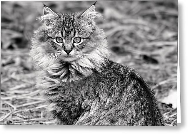 Rona Black Greeting Cards - A Young Maine Coon Greeting Card by Rona Black