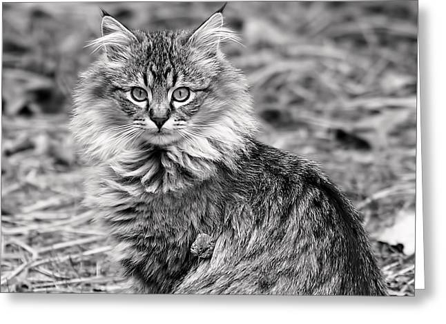 Cats Photographs Greeting Cards - A Young Maine Coon Greeting Card by Rona Black