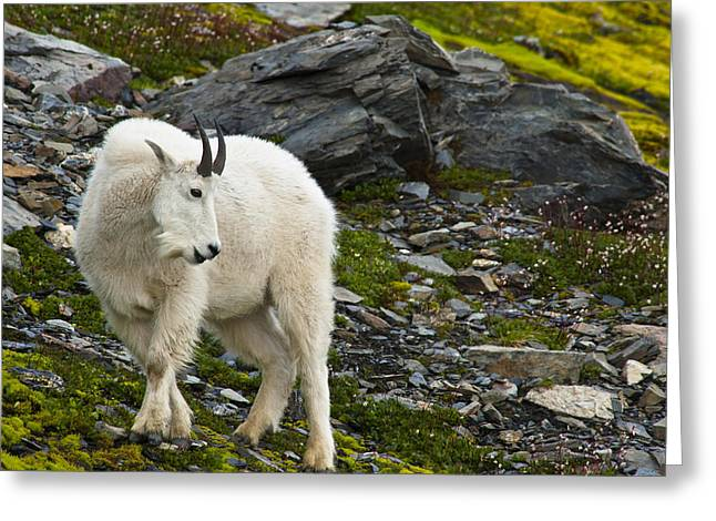 Eat Free Greeting Cards - A Young Mountain Goat Billy Is Grazing Greeting Card by Michael Jones