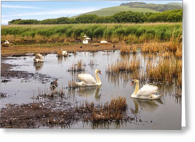 Swans... Greeting Cards - Abbotsbury Swannery Greeting Card by Joana Kruse