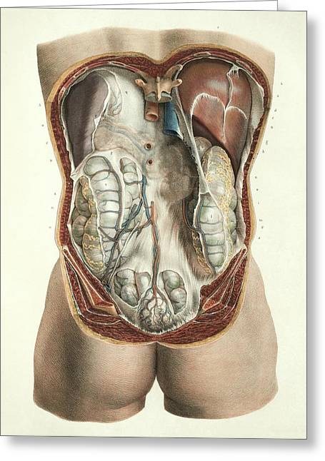 Abdominal Anatomy Greeting Card by Science Photo Library