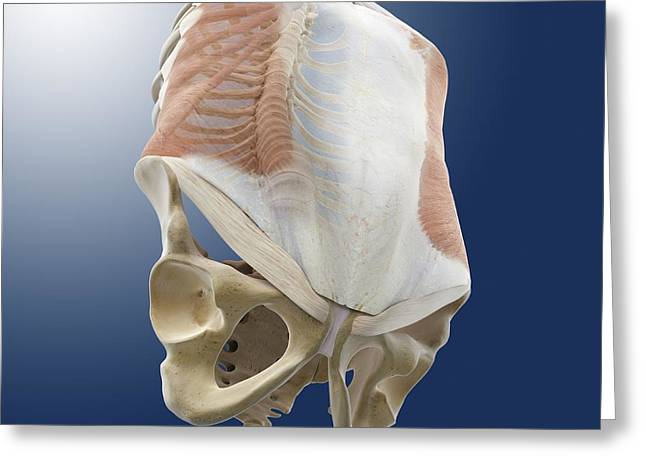 External Skeleton Greeting Cards - Abdominal external oblique muscle Greeting Card by Science Photo Library