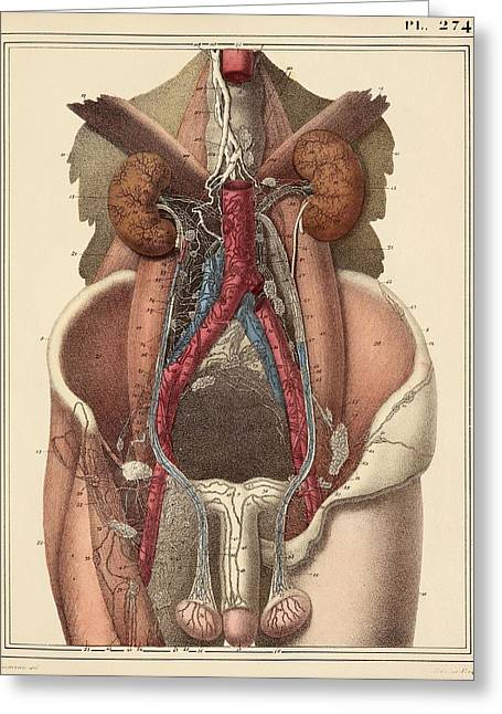 Testicle Greeting Cards - Abdominal lymph vessels, 1825 artwork Greeting Card by Science Photo Library