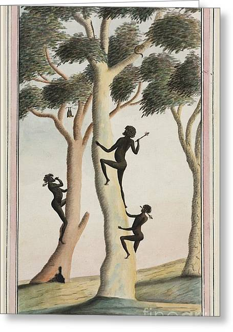 Human Tree Greeting Cards - Aboriginal Tree Climbing, 18th Century Greeting Card by Natural History Museum, London