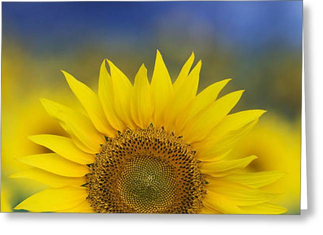 Botany Greeting Cards - Abstract Sunflower Panoramic  Greeting Card by Tim Gainey