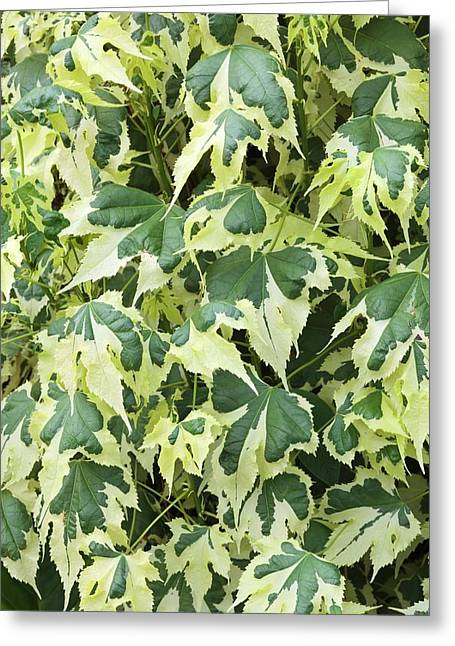 Abutilon X Hybridum Savitzii Greeting Card by Geoff Kidd
