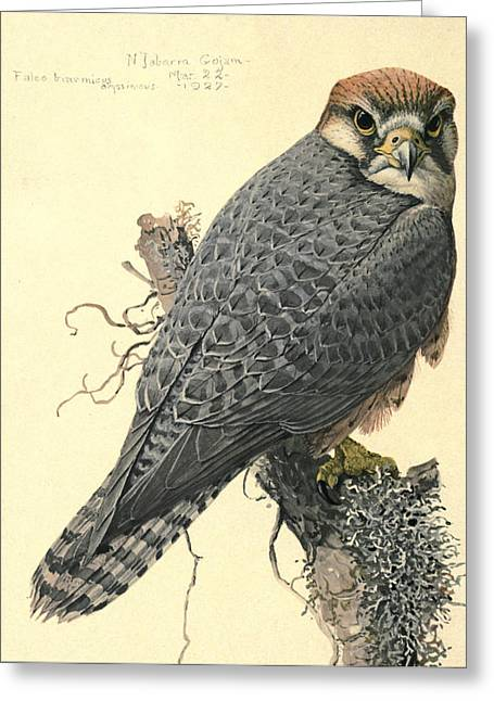 1874 Greeting Cards - Abyssinian Lanner Greeting Card by Rob Dreyer AFC