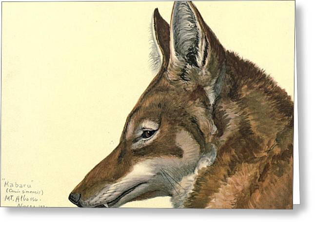 1874 Greeting Cards - Abyssinian Wolf Greeting Card by Louis Agassiz Fuertes