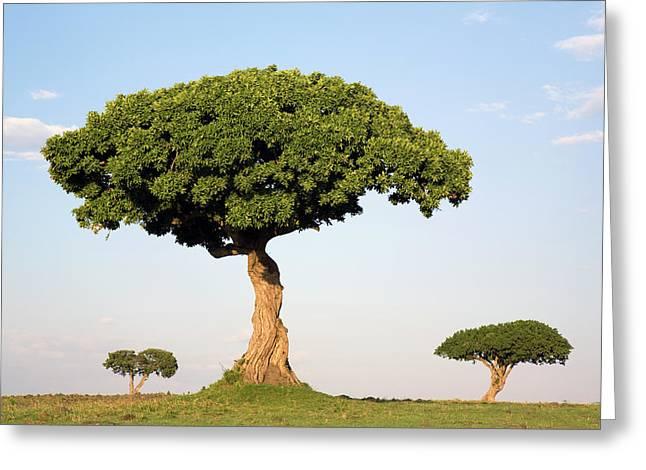 Acacia Trees Masai Mara Kenya Greeting Card by Ingo Arndt