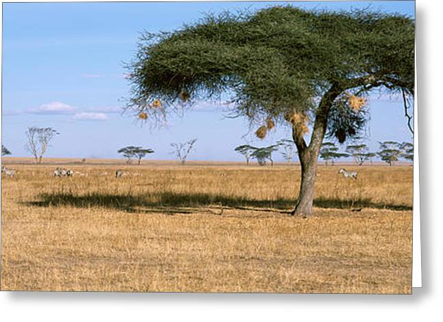 Medium Group Of Animals Greeting Cards - Acacia Trees With Weaver Bird Nests Greeting Card by Panoramic Images