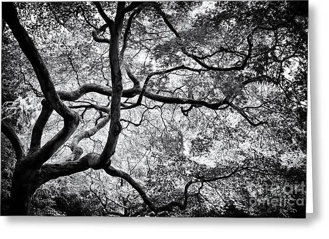 Maple Tree Branches Greeting Cards - Acer Japonicum Monochrome Greeting Card by Tim Gainey