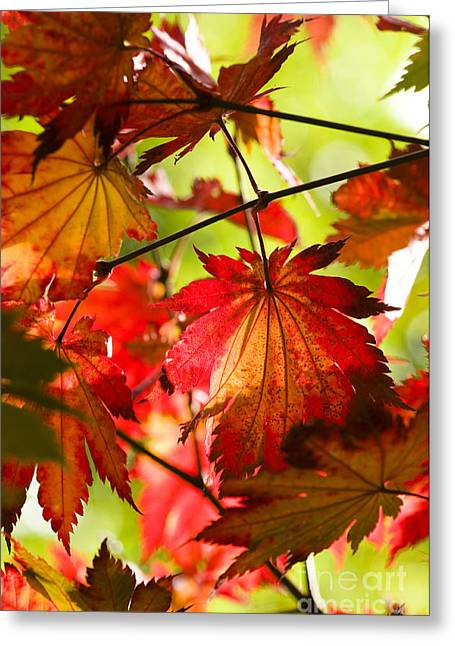 Backlit Greeting Cards - Acer japonicum O isami Greeting Card by Anne Gilbert