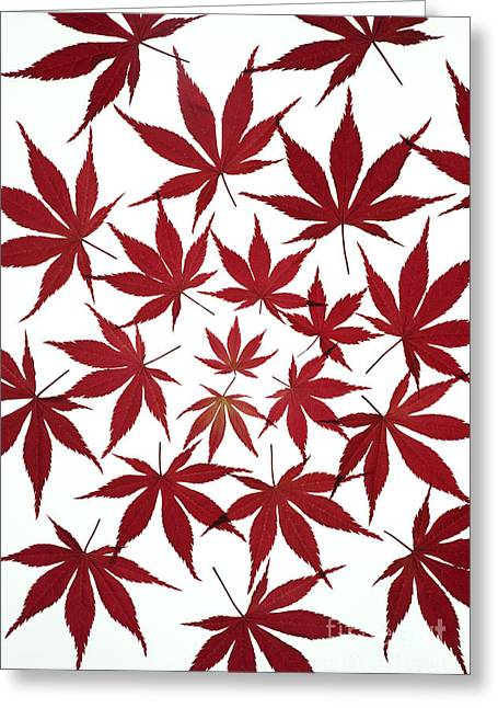 Natural Patterns Greeting Cards - Acer Leaf Pattern Greeting Card by Tim Gainey