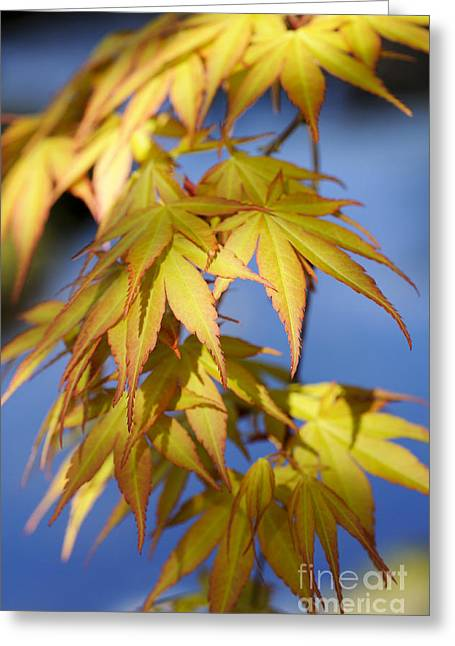 Maple Tree Branches Greeting Cards - Acer Palmatum Katsura Leaves Greeting Card by Tim Gainey