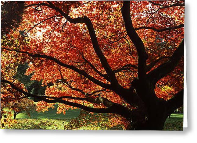 Garden Scene Photographs Greeting Cards - Acer Tree In A Garden, Thorp Perrow Greeting Card by Panoramic Images