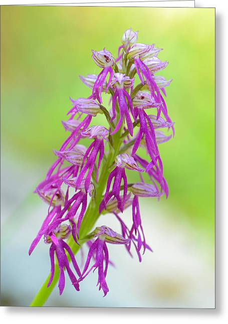 Green Color Ceramics Greeting Cards - Aceras anthropophora x Orchis italica Greeting Card by Orazio Puccio