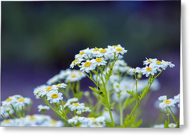 Sneezeweed Greeting Cards - Achillea Ptarmica - VanDusen Botanical Garden Greeting Card by May L