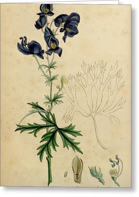 Office Plants Drawings Greeting Cards - Aconitum Napellus by Sowerby Greeting Card by Philip Ralley