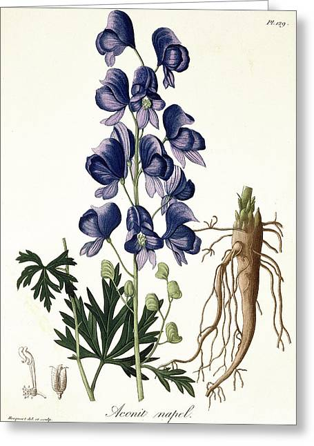Roots Drawings Greeting Cards - Aconitum Napellus Greeting Card by LFJ Hoquart