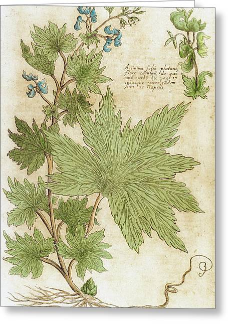 Aconitum Seventeenth-century Engraving Greeting Card by Prisma Archivo