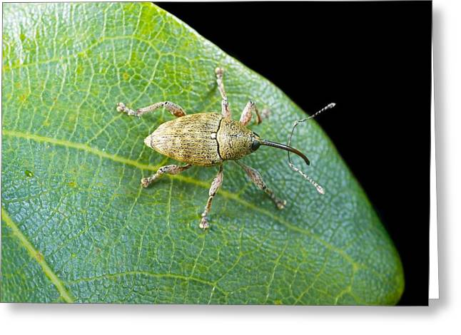 Acorn Greeting Cards - Acorn weevil Greeting Card by Science Photo Library