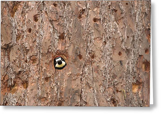 Acorn Greeting Cards - Acorn Woodpecker Female In Nest Cavity Greeting Card by Norbert Wu