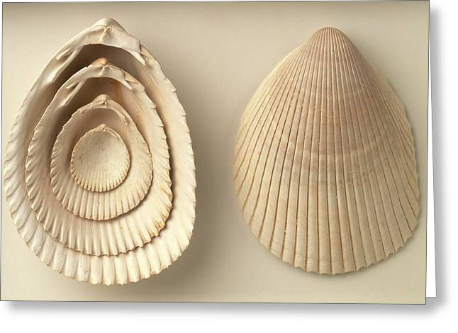 Acrosterigma Dalli Cockle Shells Greeting Card by Dorling Kindersley/uig