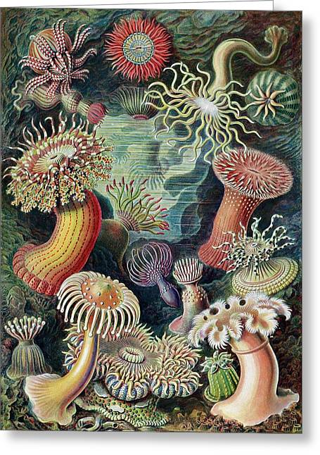 Actiniae Sea Anemones Greeting Card by Library Of Congress