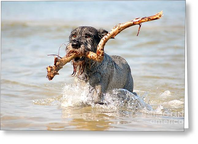 Dog Play Beach Greeting Cards - Active dog Greeting Card by Michal Bednarek