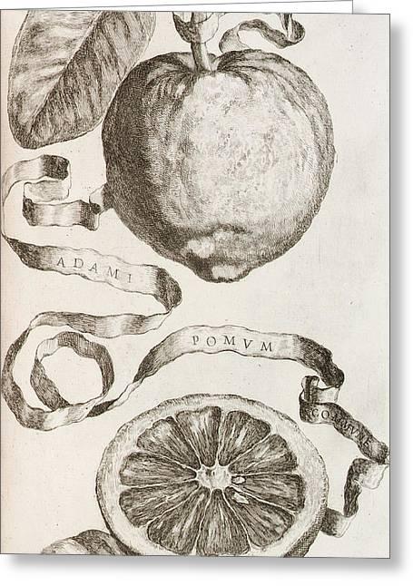 Century Old Greeting Cards - Adams Apple Greeting Card by Cornelis Bloemaert