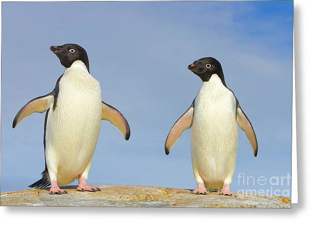 Adelie Penguin Duo Western Antarctica Greeting Card by