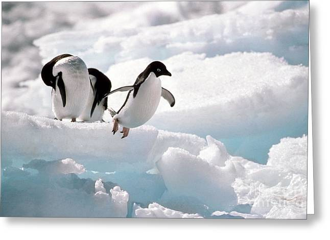 Seabirds Greeting Cards - Adelie Penguins Greeting Card by Art Wolfe