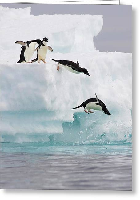 Adelie Penguins Diving Off Iceberg Greeting Card by Suzi Eszterhas