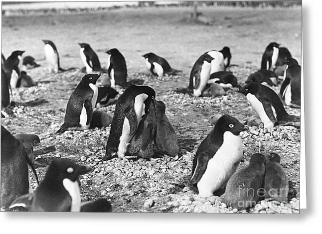 Seabirds Greeting Cards - Adelie Penguins Feeding Their Young Greeting Card by Natural History Museum, London
