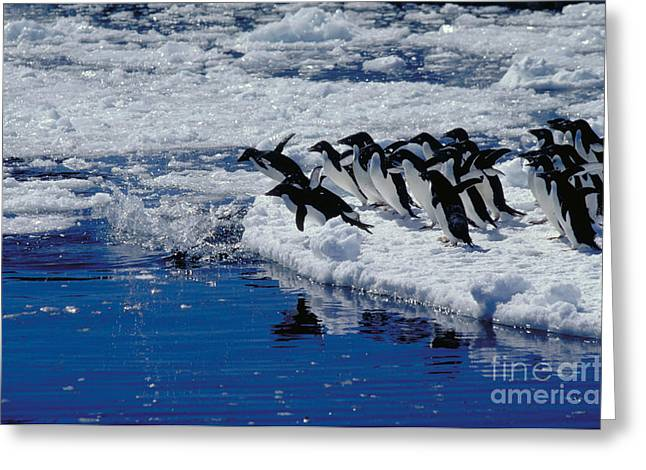 Flightless Greeting Cards - Adelie Penguins Going For A Swim Greeting Card by Gregory G. Dimijian