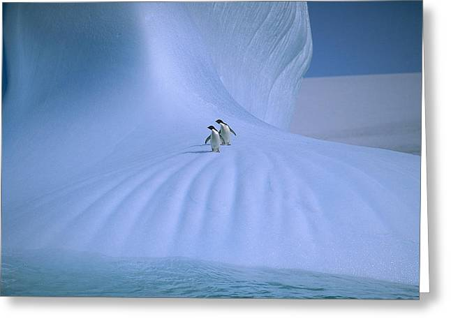 Seabirds Greeting Cards - Adelie Penguins On Iceberg Antarctica Greeting Card by Peter Sinden
