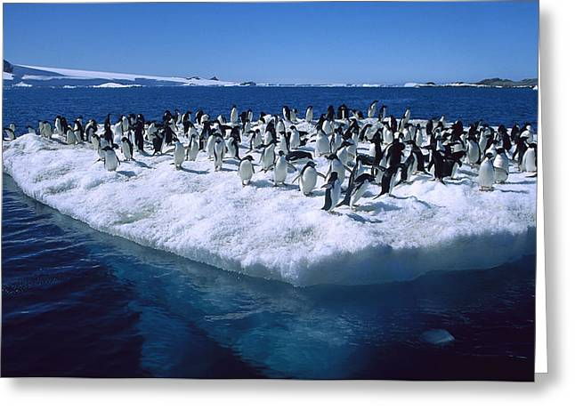 Adelie Penguins On Icefloe Antarctica Greeting Card by Colin Monteath
