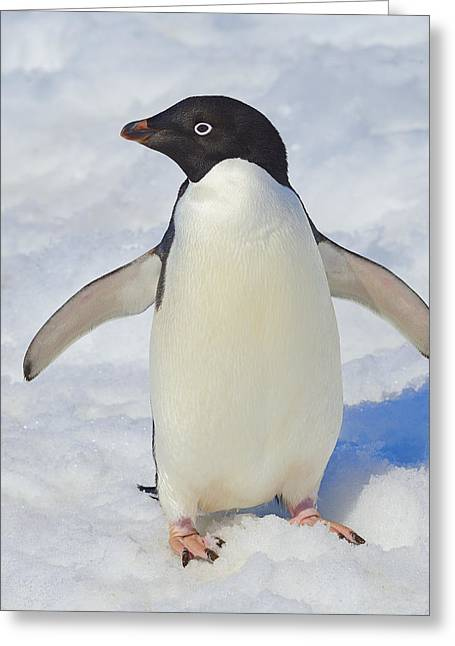 Tuxedo Greeting Cards - Adelie Greeting Card by Tony Beck