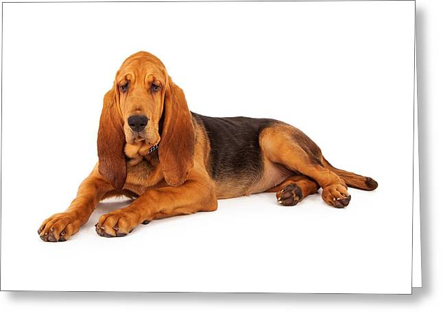 Blood Hound Greeting Cards - Adorable Large Bloodhound Puppy Greeting Card by Susan  Schmitz