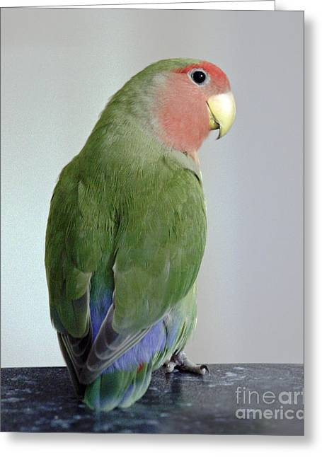Rosy-faced Lovebird Greeting Cards - Adorable Pickle Greeting Card by Terri  Waters