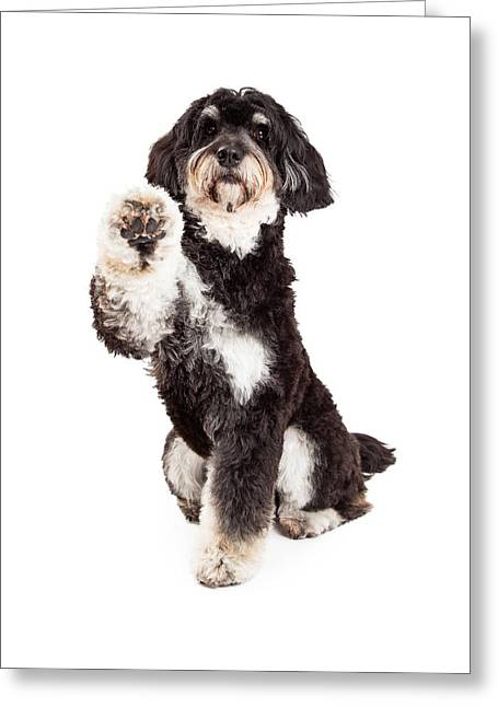 Tricks Greeting Cards - Adorable Poodle Mix Breed Dog Extending Paw Greeting Card by Susan  Schmitz