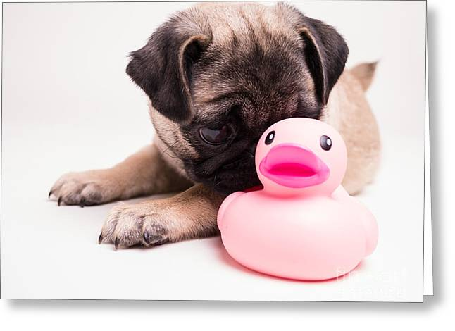 Ducky Greeting Cards - Adorable Pug Puppy with pink rubber ducky Greeting Card by Edward Fielding