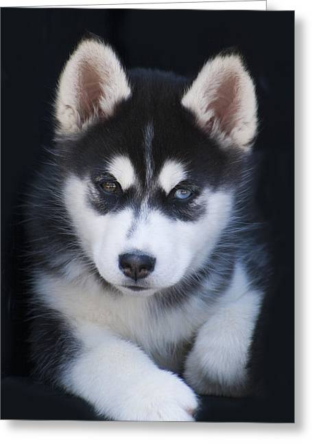 Husky Greeting Cards - Adorable Siberian Husky Sled Dog Puppy Greeting Card by Kathy Clark