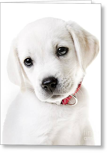 White Lab Greeting Cards - Adorable Yellow Lab Puppy Greeting Card by Diane Diederich